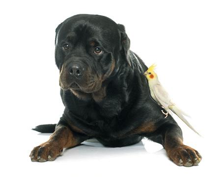 purebred: purebred male rottweiler
