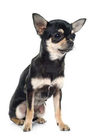 purebred: purebred puppy chihuahua in front of white background Stock Photo