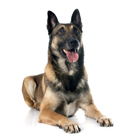 guar: belgian shepherd dog in front of white background