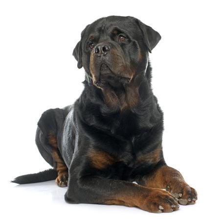 purebred male rottweiler