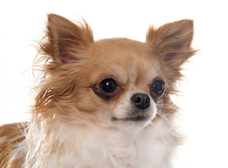 long hair chihuahua: purebred female chihuahua in front of white background