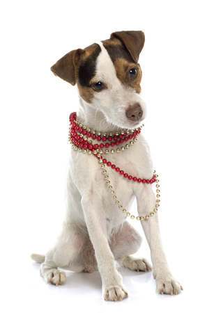 jack russel: jack russel terrier in front of white background