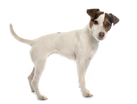 russel: jack russel terrier in front of white background