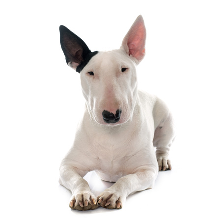 female bull terrier in front of white background