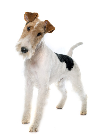 fox terrier de pura raza delante de fondo blanco