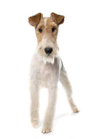 purebred: purebred fox terrier in front of white background