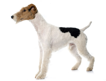 fox terrier puppy: purebred fox terrier in front of white background