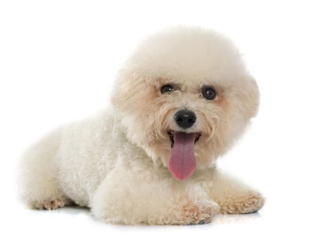 bichon: bichon frise maltese dog in front of white background