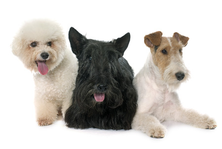 bichon: three dogs in front of white background Stock Photo