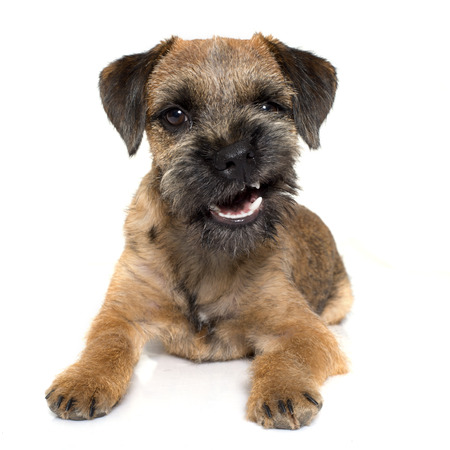 purebred border terrier in front of white background 스톡 콘텐츠