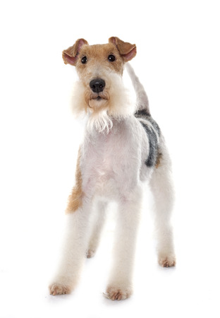 purebred fox terrier in front of white background