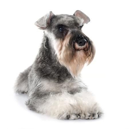 schnauzer: gray miniature schnauzer in front of white background Stock Photo
