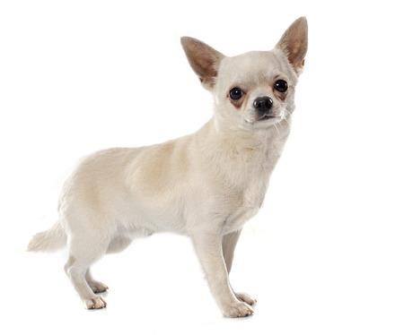 cabello corto: chihuahua de pelo corto delante de fondo blanco