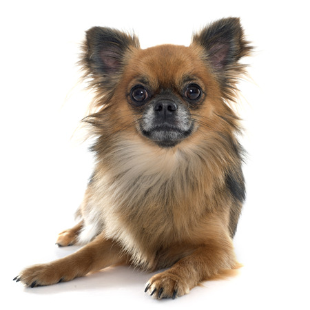 long hair chihuahua: long hair chihuahua in front of white background