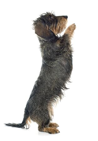 haired: Wire haired dachshund in front of white background