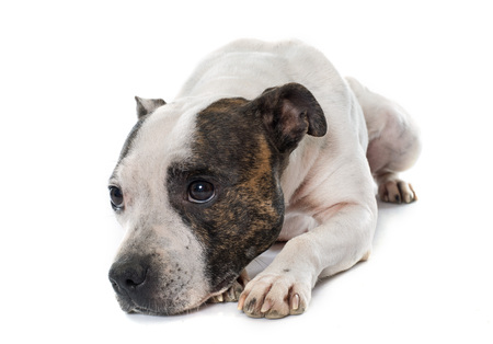 pitbull: stafforshire bull terrier in front of white background Stock Photo