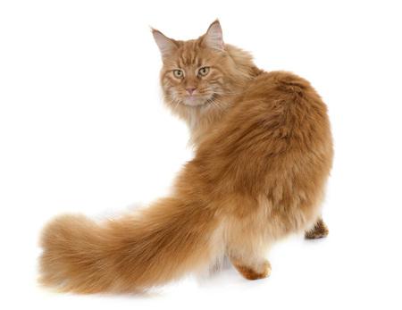 maine coon gato delante de fondo blanco