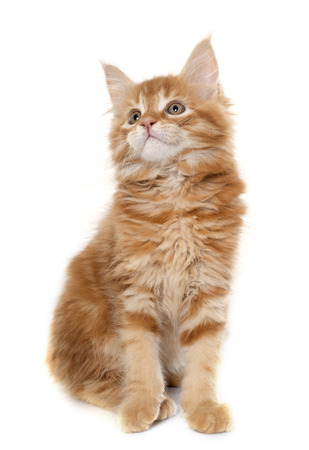 white cat: maine coon kitten in front of white background