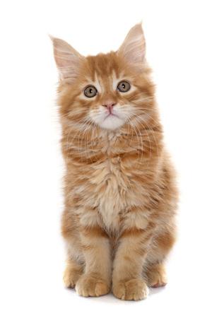kitten: maine coon kitten in front of white background