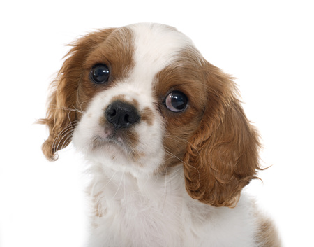 pedigreed: puppy cavalier king charles in front of white background