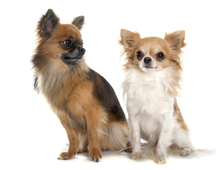 long hair chihuahua: two long hair chihuahuas in front of white background