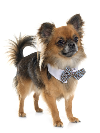 long hair chihuahua: long hair chihuahua with bow tie in front of white background Stock Photo