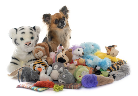 long hair chihuahua: long hair chihuahua and toys in front of white background