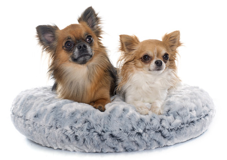 long hair chihuahua: long hair chihuahuas in front of white background Stock Photo