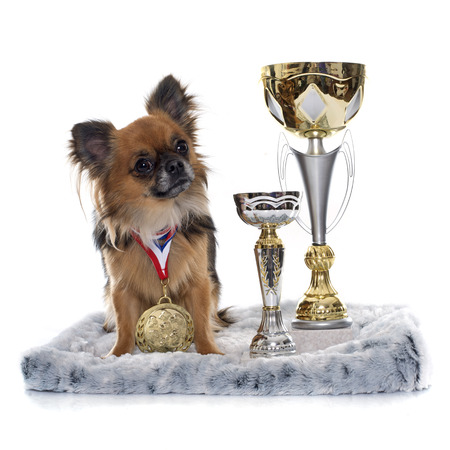 long hair chihuahua: long hair chihuahua and trophyin front of white background Stock Photo