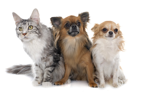 long hair chihuahua: long hair chihuahuas and maine coon in front of white background
