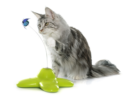 maine cat: playing maine coon cat in front of white background Stock Photo