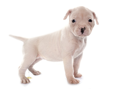 pissing: puppy american bulldog urinating in front of white background Stock Photo