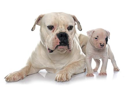 adulto y cachorro bulldog americano en frente de fondo blanco