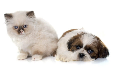 british longhair kitten and puppy in front of white background