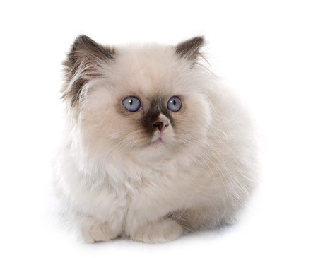 white cats: british longhair kitten in front of white background