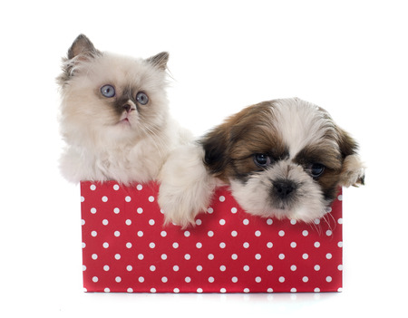 longhair: british longhair kitten and puppy in front of white background
