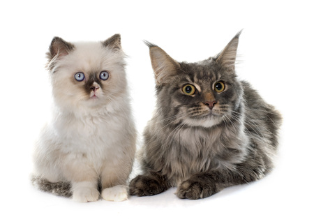 siamese cats: british longhair kitten and maine coon in front of white background