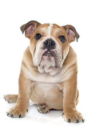 young english bulldog in front of white background