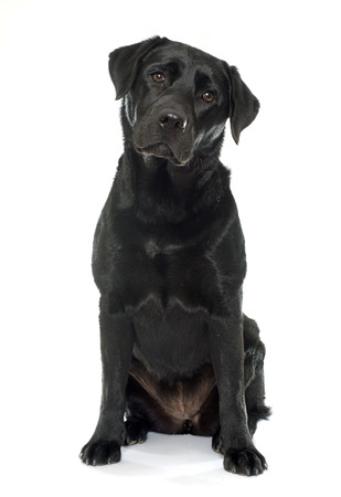 female black labrador retriever in front of white background