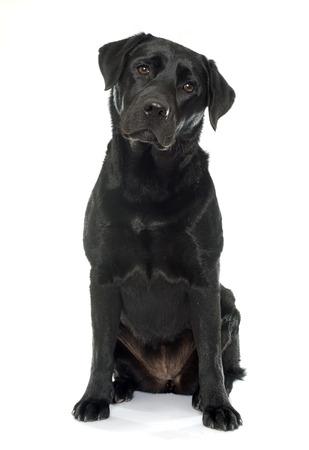female black labrador retriever in front of white background