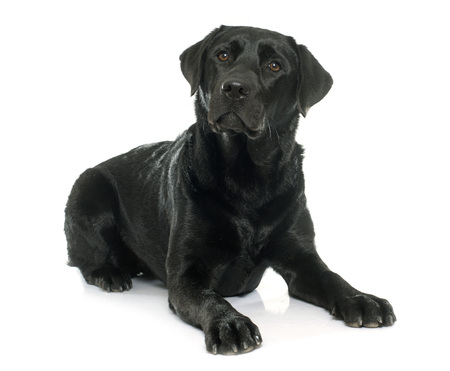 Femelle labrador retriever noir en face de fond blanc Banque d'images - 50674789