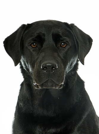 black and white background: female black labrador retriever in front of white background