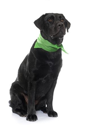 femelle labrador retriever noir en face de fond blanc Banque d'images