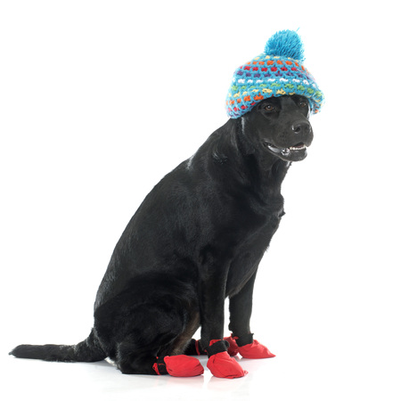 black hat: female black labrador retriever in front of white background