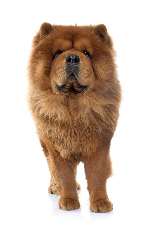 chow: brown chow dog in front of white background
