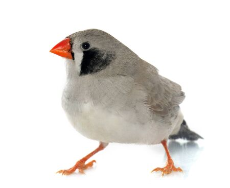 exotics: Zebra finch in front of white background Stock Photo