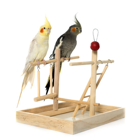 the perch: playing parakeet and Cockatiel