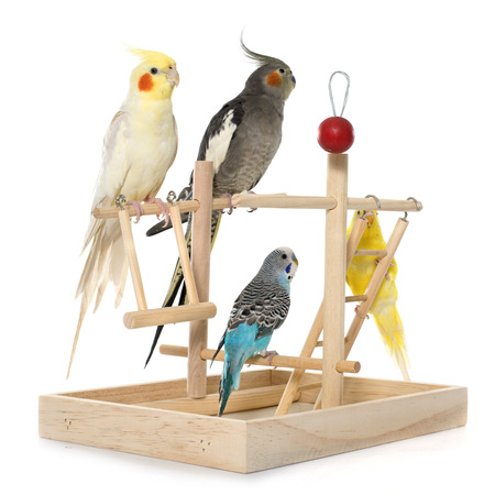 perico: jugando periquito y Cockatiel