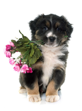 animal mouth: puppy australian shepherd holding flowers in front of white background Stock Photo