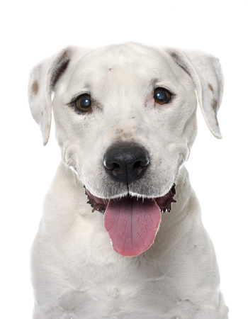 cataracts: old american staffordshire terrier in front of white background